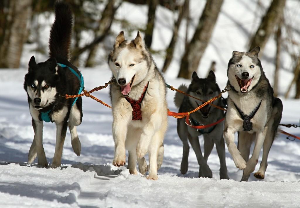 huskies-273409_1920